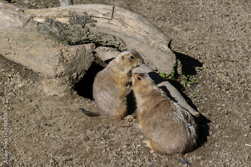 Two attention prairie dogs Wallpaper Mural