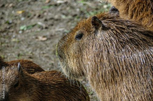 Wallpaper Mural Family of capibars