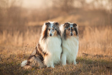 Two Collie Dogs Sitting In An Autumn Meadow At Sunset