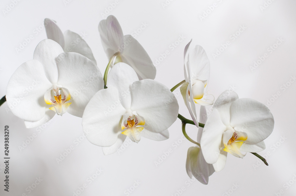 Fototapety, obrazy: A branch of a white Orchid for a postcard.