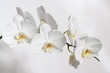 A branch of a white Orchid for a postcard.