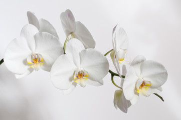 Naklejka na ściany i meble A branch of a white Orchid for a postcard.