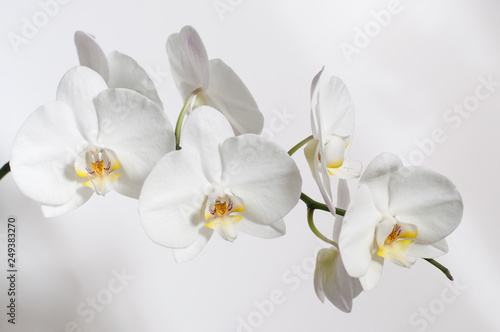 Autocollant pour porte Orchidée A branch of a white Orchid for a postcard.