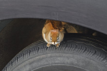 Eastern Grey Squirrel Sitting On Vehicle Tire.