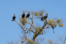 Four Double-Breasted Cormorants Perched In A Tree.  The Three On The Left Looking To The Left And The One On The Right Looking Right.