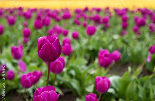 Photo  Purple tulips with one standing out amongst the others and yellow tulips in the