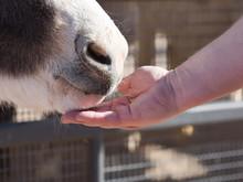 Man Feeding Donkey