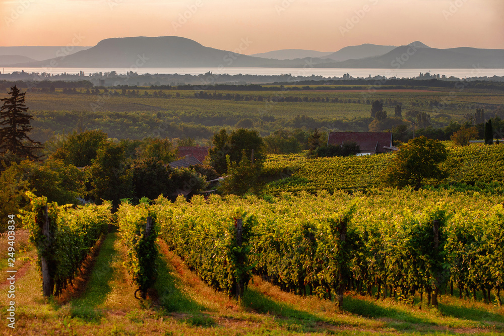 Fototapeta Vineyards and the Badacsony mountain with Lake Balaton at sunset in Hungary