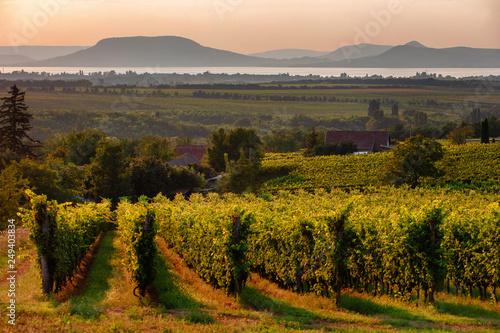 Vineyards and the Badacsony mountain with Lake Balaton at sunset in Hungary Canvas Print