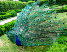 Stylized Image, Oil Painting - A Peacock With An Open Tail Walks In The Park