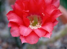 Echinopsis Cassandra