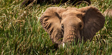 African Elephant Hiding In Lon...