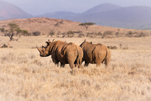 Two Black Rhinos In With Blue ...
