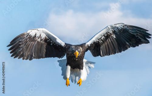 Poster Aigle Adult Steller's sea eagle in flight. Front view. Steller's sea eagle, Scientific name: Haliaeetus pelagicus.