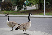 Two Canada Geese Looking To Cr...