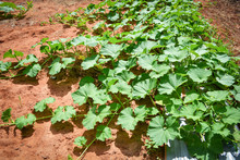 Green Vine Of Pumpkin Plant Tree Growing On Ground On Organic Vegetable Garden Agriculture Farm