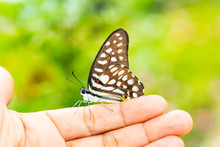Common Jay Butterfly ( Graphium Doson)  Resting On Human Finger
