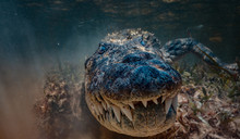 American Saltwater Alligator C...