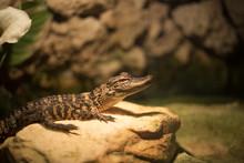 Baby Alligator In Everglades N...