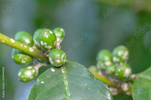 Coffee Bean Green Fruits Closeup With Cochineal Plague Not