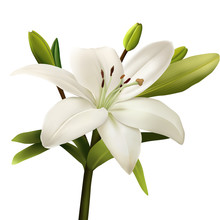Lily Isolated On White Backgro...