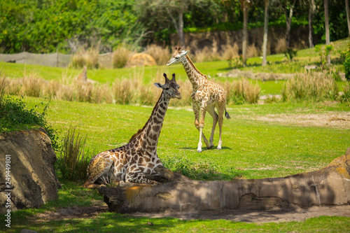 Photo  Giraffes are walking in a green meadow. Africa