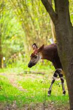 Okapi Walking In Forest Park. The Okapi (Okapia Johnstoni), Is A Giraffid Artiodactyl Mammal Native To The Northeast Of The Democratic Republic Of The Congo In Central Africa.