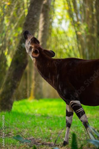 Okapi walking in Forest Park Canvas Print
