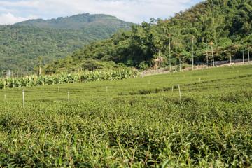 Fototapeta na wymiar green tea farm