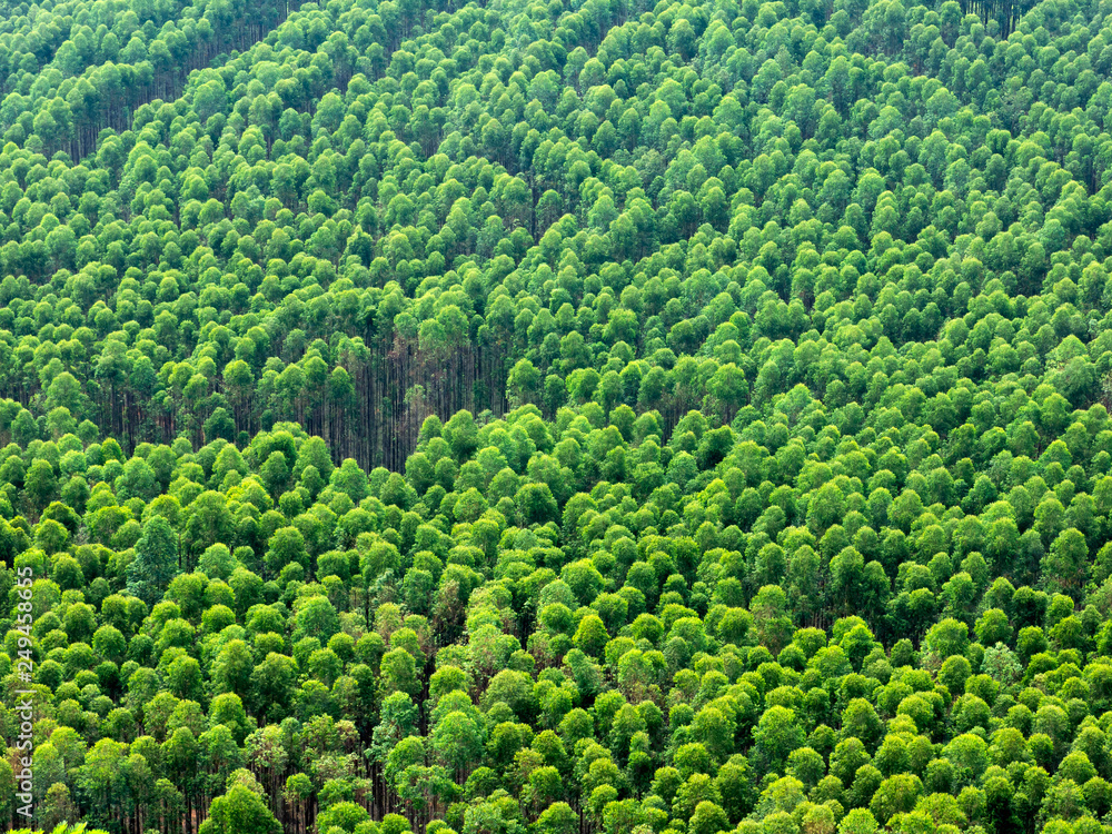 Fototapety, obrazy: Eucalyptus plantation in Brazil - cellulose paper agriculture - birdseye drone view