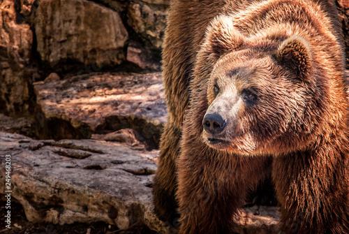 Fotografie, Obraz  Brown Bear