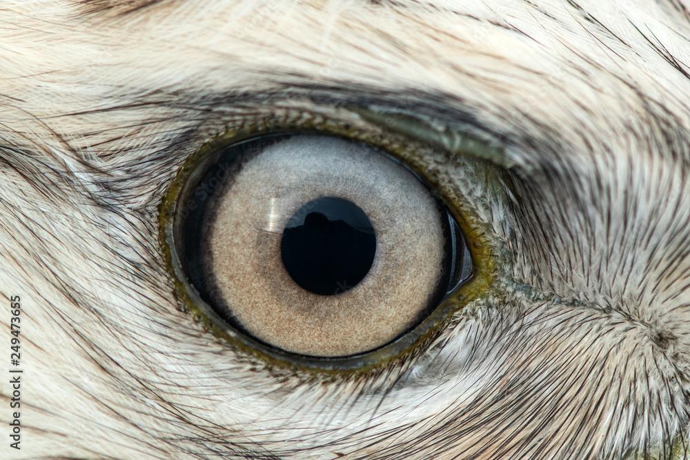 Fototapety, obrazy: Buzzard eye close-up, macro photo, eye of the male Rough-legged Buzzard, Buteo lagopus