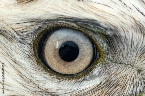 Obraz na plátně  Buzzard eye close-up, macro photo, eye of the male Rough-legged Buzzard, Buteo l