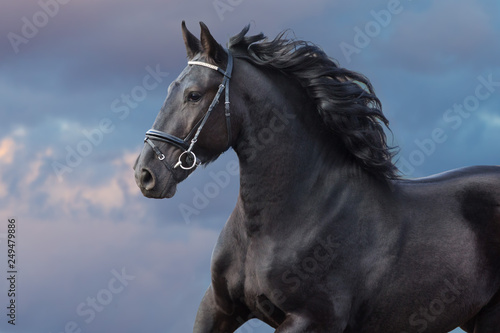 Fototapeta Frisian stallion with long beautiful mane run against sunset dark sky obraz