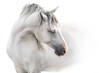Grey andalusian horse with long mane close up portrait on white background. High key image