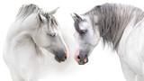 Dwa szarości konia pary portret na bielu. Obraz z wysokim kluczem - 249480080
