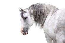 Grey Andalusian Horse With Lon...