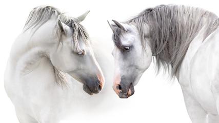 Obraz na Szkle Do sypialni Two grey horse couple portrait on white. High key image