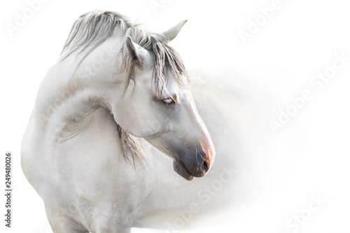Photographie Grey andalusian horse with long mane close up portrait on white background