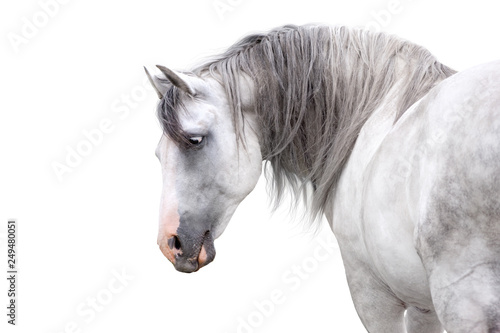 Fotografía  Grey andalusian horse with long mane close up portrait on white background