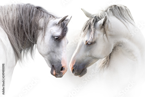 Fototapeta Two grey horse couple portrait on white. High key image obraz