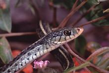 Eastern Garter Snake (Thamnoph...