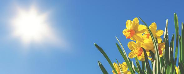 Frühlingsbanner oder Hintergrund: gelbe Narzissen vor blauem Himmel und strahlender Sonne