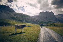 Mountain Biker And Cow In Swiss Alps