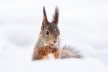 Squirrel Snow Winter