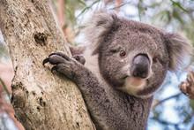 Wild Koala Climbing Up A Tree ...