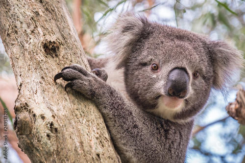 Spoed Fotobehang Koala Wild koala climbing up a tree in Adelaide Hills, South Australia