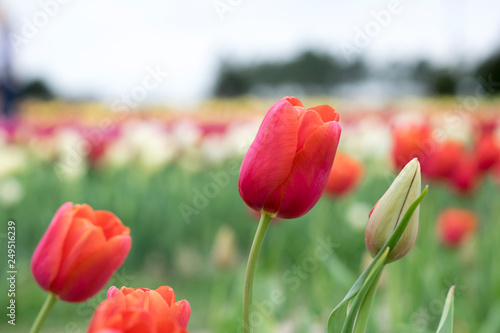 Photo  Red Tulip