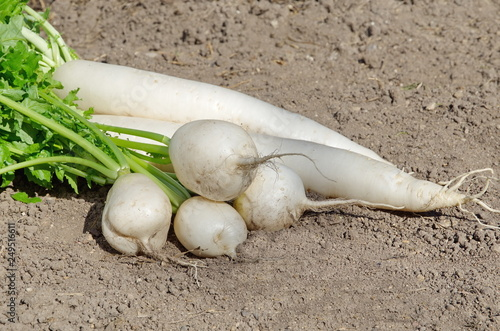 Acrylic Prints Stones in Sand Long and round daikon radish on the ground closeup