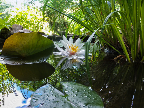 Nénuphars Magic white water lily or lotus flower Marliacea Rosea reflected in pond mirror with sky and leaves. Petals of Nymphaea in transparent drops. Stones and blurred nature on background. Selective focus.